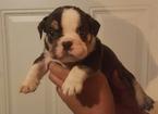 Bulldog Puppy For Sale in SACRAMENTO, CA