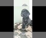 Small #3 Labrador Retriever-Majestic Tree Hound Mix