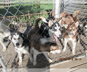 Alaskan Malamute Puppy for sale in LAKEFIELD, MN, USA