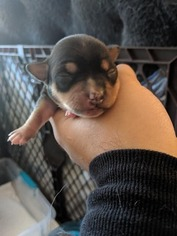 Chihuahua Puppy for sale in GLEN BURNIE, MD, USA
