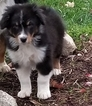 Australian Shepherd Puppy For Sale in PORTLAND, IN, USA