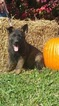 German Shepherd Dog Puppy For Sale in GLADE SPRING, VA, USA
