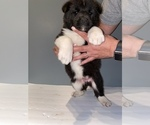 Puppy 6 Akita