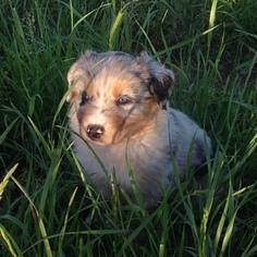 Australian Shepherd Puppy For Sale in OZARK, AR