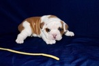 English Bulldog Puppy For Sale in LOUISBURG, KS, USA