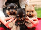 Pomeranian Puppy For Sale in EVERETT, WA