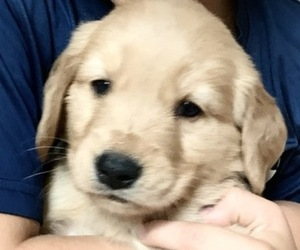 Golden Retriever Puppy for sale in ROCKDALE, TX, USA