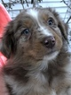 Australian Shepherd Puppy For Sale in E WALLINGFORD, VT, USA