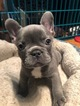 French Bulldog Puppy For Sale in CANYON LAKE, CA, USA