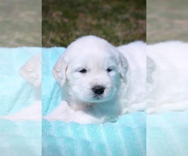 Medium Photo #2 English Cream Golden Retriever Puppy For Sale in NAPPANEE, IN, USA