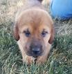 Beagle Mix Puppy For Sale in ARTHUR, IL, USA