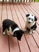 Border Collie Puppy For Sale in DAVISBURG, MI