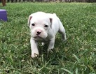 Boxer Puppy For Sale in DEER PARK, TX