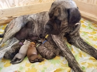 Mastiff Puppy For Sale in CUTLER, IN