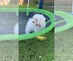 Maltese Terrier Puppy