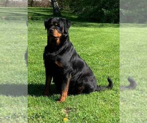 Mother of the Rottweiler puppies born on 04/24/2019