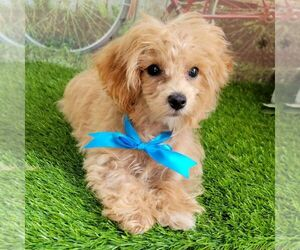 Maltipoo-Poodle (Toy) Mix Puppy for sale in ARTHUR, IL, USA