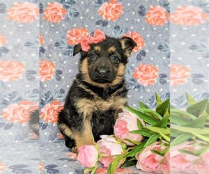 German Shepherd Dog Dog for Adoption in KIRKWOOD, Pennsylvania USA