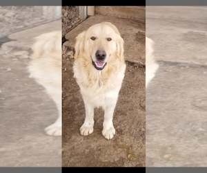 Father of the Golden Retriever puppies born on 06/19/2020