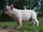 French Bulldog Puppy For Sale in WARSAW, IN, USA