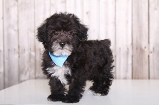YorkiePoo Puppy for sale in MOUNT VERNON, OH, USA