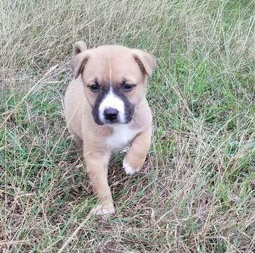 View Ad American Pit Bull Terrier Siberian Husky Mix Puppy For Sale Near Texas Spring Branch