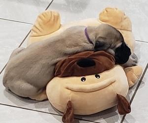 Mastiff Puppy for Sale in TENN COLONY, Texas USA