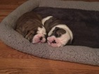 English Bulldog Puppy For Sale in WHITEHOUSE STATION, NJ, USA