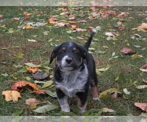 Australian Cattle Dog-Rat Terrier Mix Puppy for sale in KINGMAN, IN, USA