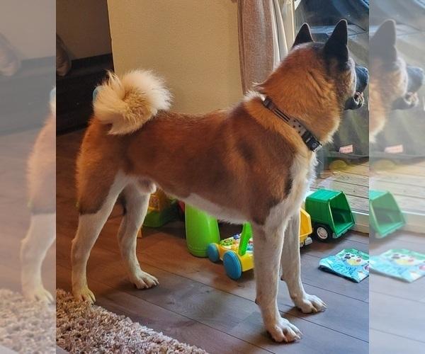 Medium Photo #1 Akita Puppy For Sale in LAKEBAY, WA, USA