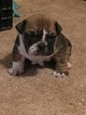 Bulldog Puppy For Sale in BRAMAN, OK