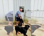 Small #103 Rottweiler