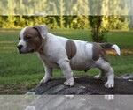Puppy 0 American Bully