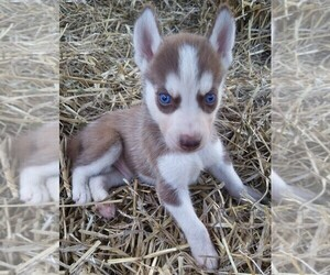 Siberian Husky Puppy for Sale in ADAMS COUNTY, Ohio USA