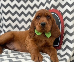 Irish Setter Dog for Adoption in EAST EARL, Pennsylvania USA