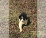 Small Photo #3 Australian Shepherd Puppy For Sale in ALLEGRE, KY, USA
