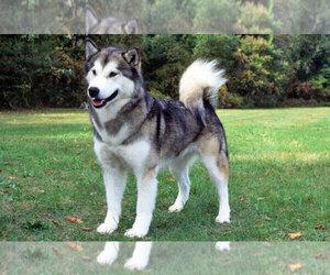 Alaskan Malamute Puppy for sale in CHATSWORTH, CA, USA