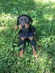 Doberman Pinscher Puppy For Sale in VAN LEAR, KY,