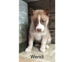 Small Photo #5 Siberian Husky Puppy For Sale in DEARBORN, MO, USA