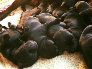 Labrador Retriever Puppy For Sale in FRANKLIN, NC