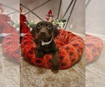 Puppy 5 Doberman Pinscher-Weimaraner Mix