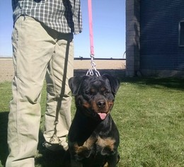 AKC German Rottweiler Import pups ADRK joints