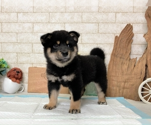 Shiba Inu Dog for Adoption in WASHINGTON, District of Columbia USA
