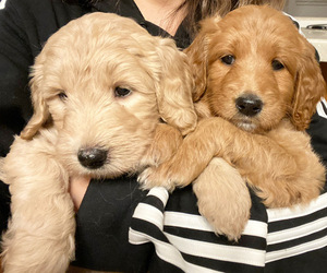 Goldendoodle Puppy for Sale in CARMICHAEL, California USA