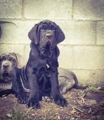 Neapolitan Mastiff Puppy For Sale in LOS ANGELES, CA