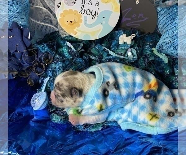 Medium Photo #2 Bullhuahua-Chihuahua Mix Puppy For Sale in RAWSONVILLE, MI, USA