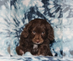Aussiedoodle Miniature  Puppy for Sale in NAMPA, Idaho USA