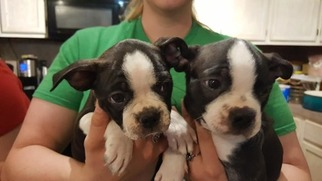 Boston Terrier Puppy for Sale in BRKN ARW, Oklahoma USA