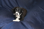 Border Collie Puppy For Sale in CHANDLER, AZ