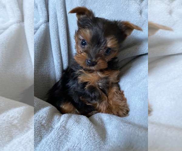 Medium Photo #5 Yorkshire Terrier Puppy For Sale in KLEIN, TX, USA